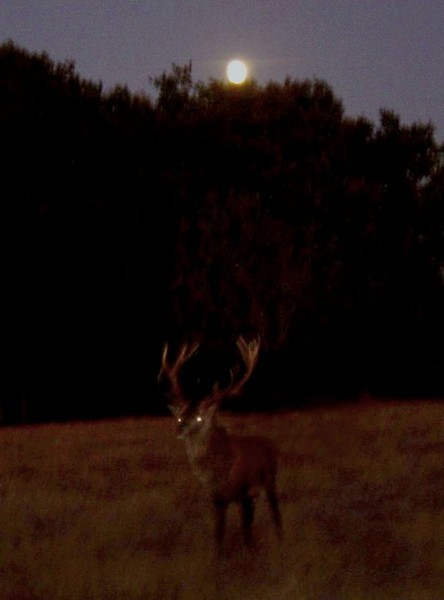 640px-Cerf_lune