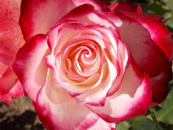 La rose épanouie des Amours de Ronsard – Alina Reyes
