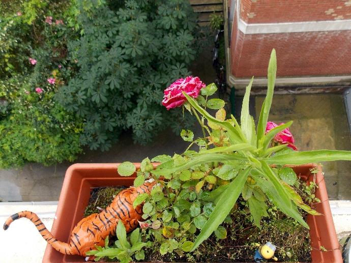tigre et rose 3