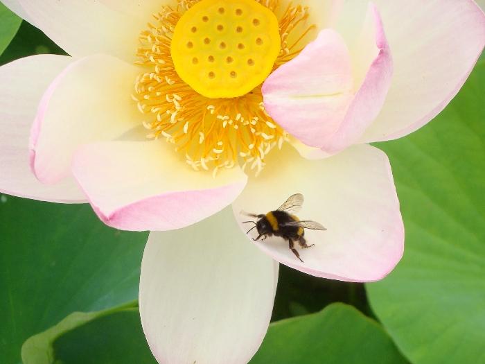 lotus et bourdon