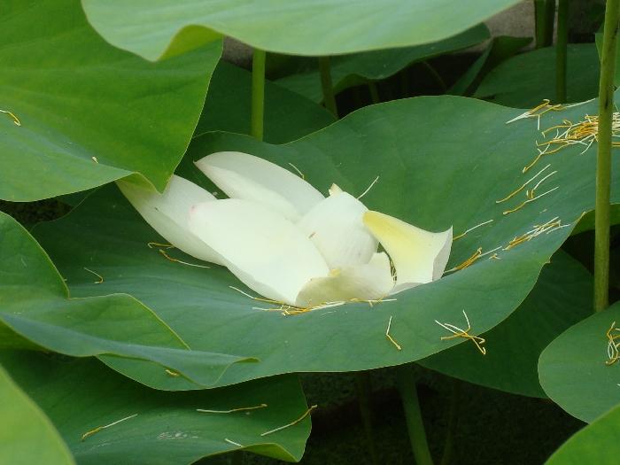 pétales de lotus
