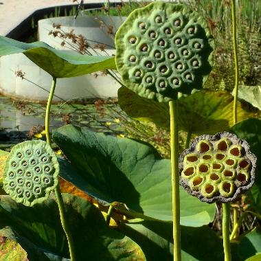 coeur-de-lotus