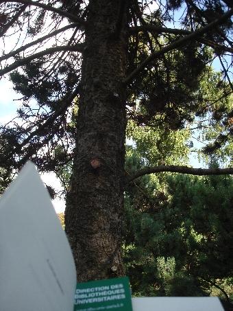 le-pin-du-jardin-alpin