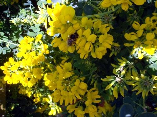 abeille et fleurs jaunes-min
