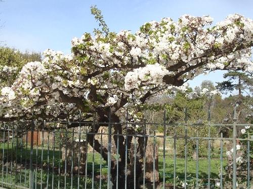 cerisier 1-min