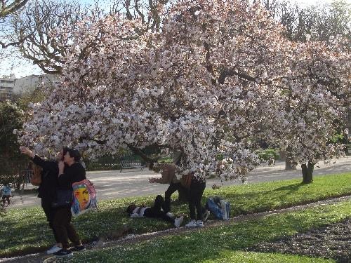 cerisier 11-min