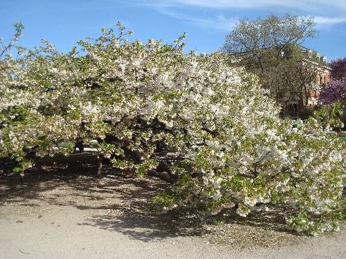 cerisier 2-min