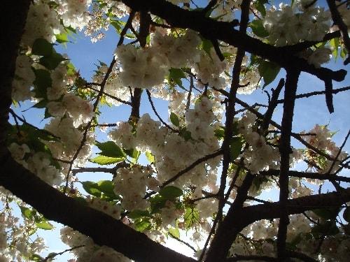 cerisier 6-min