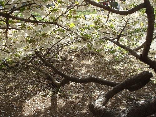 cerisier 7-min