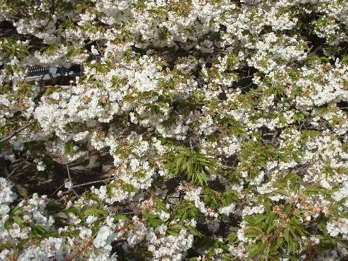 cerisier 8-min