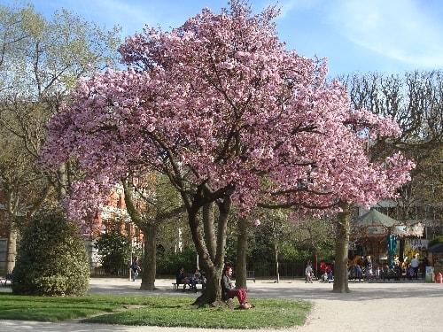 cerisier 9-min
