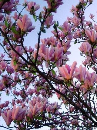 tulipier-min