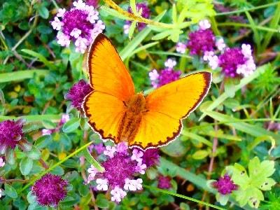 papillon-min
