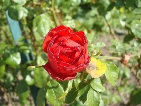 rose rouge-min