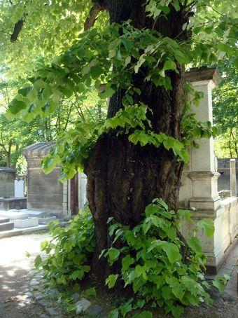 arbre cimetiere montmartre