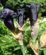 iris 9,