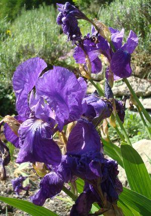 Iris sans feuille, Europe Asie Caucase