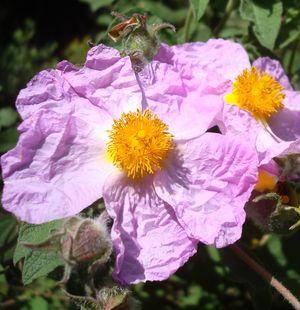 Rhodanthemum hosmariense, Maroc