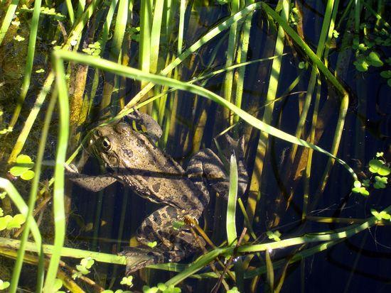 jardin 2 grenouille