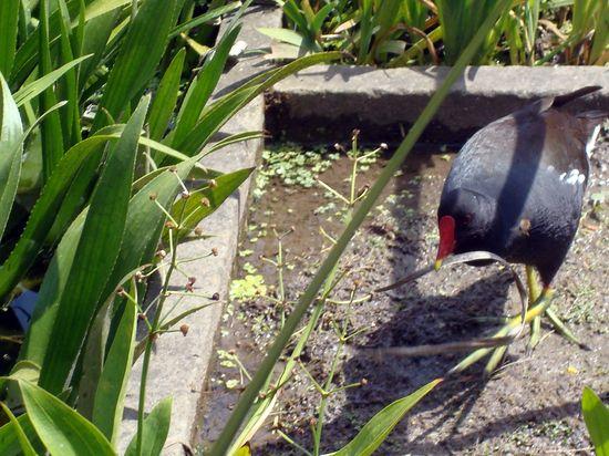 jardin 5 poule d'eau herbe au bec