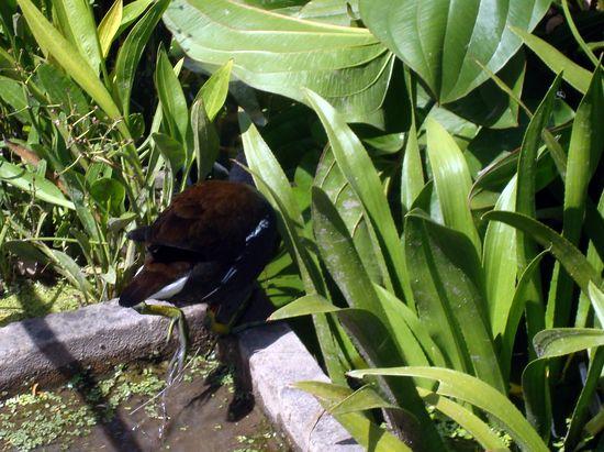 jardin 6 poule d'eau buisson