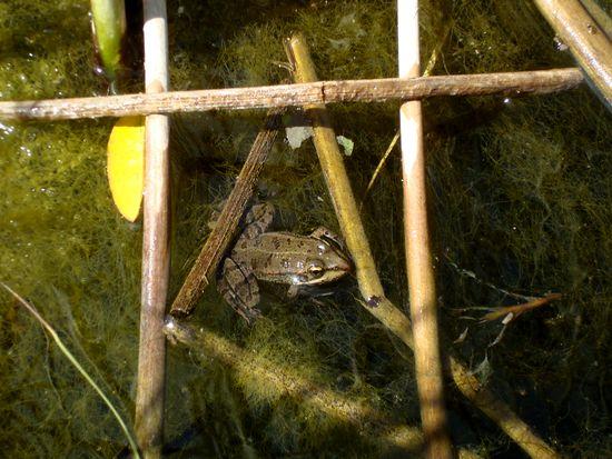 jardin 7 grenouille,