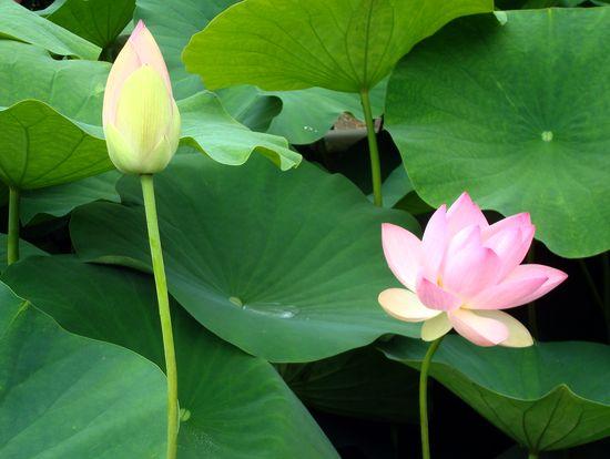 jardin 2 lotus roses