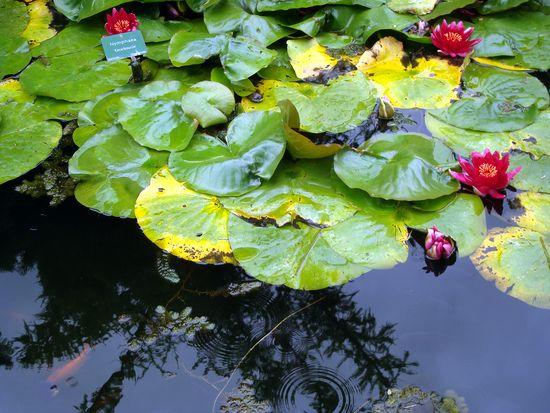 jardin 3 nymphéas rouges