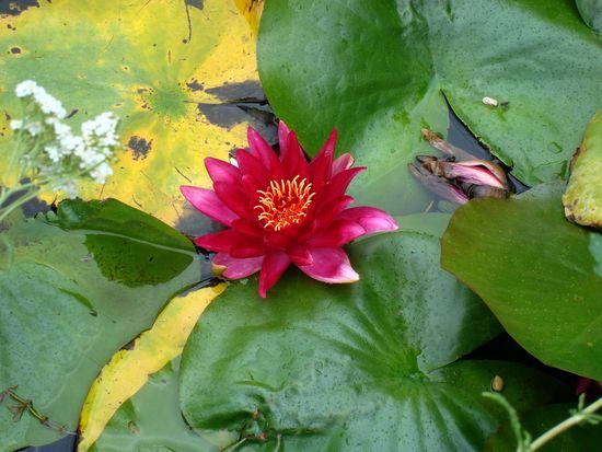 jardin 4 nymphéa rouge