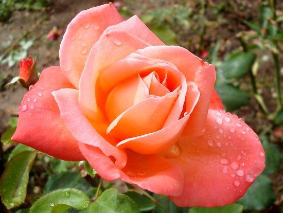 jardin rose mouillée 2