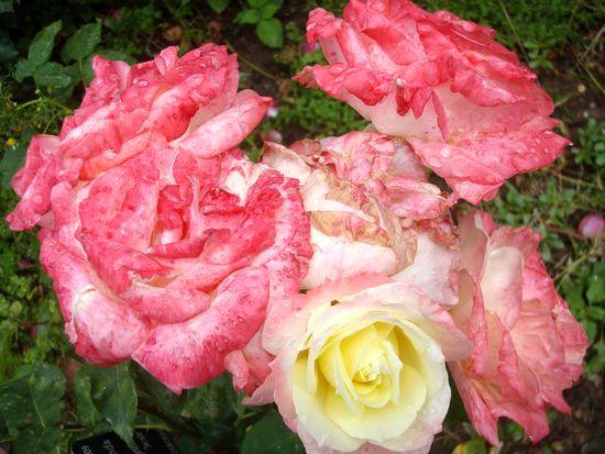 jardin rose mouillée 3