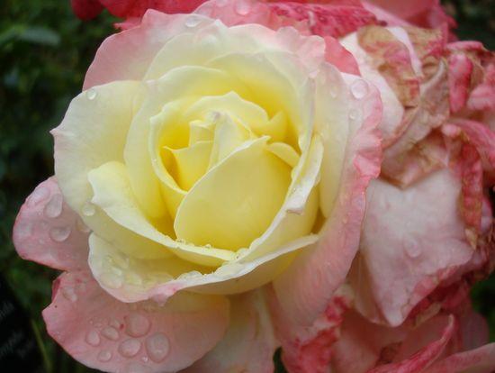jardin rose mouillée 4