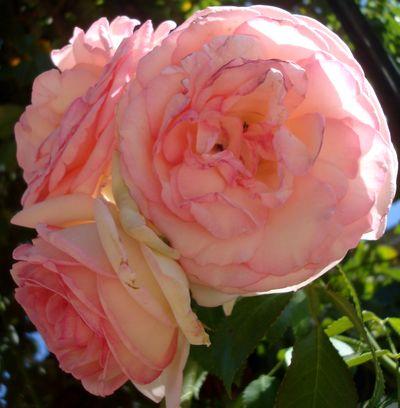 trois roses,