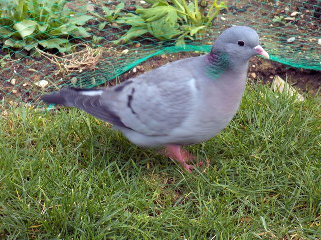 5 pigeon