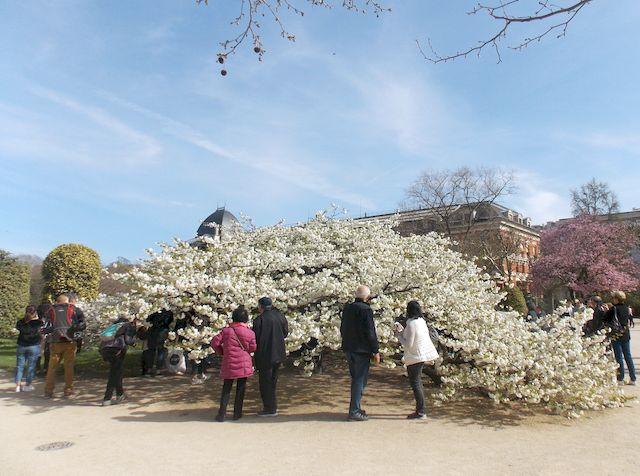 cerisier en fleur 1