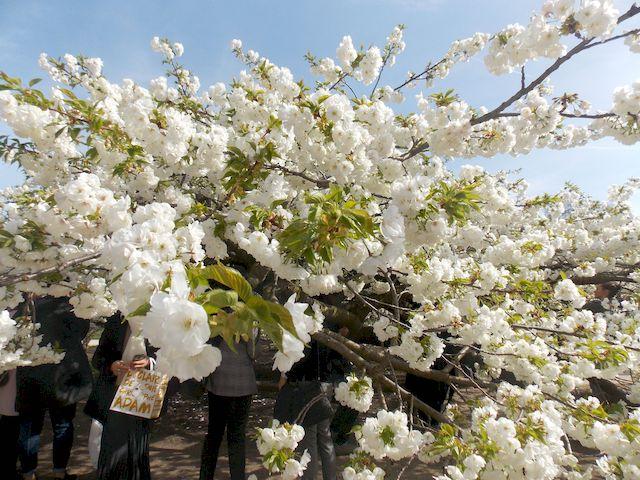 cerisier en fleur 2