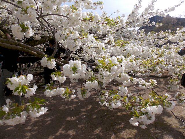 cerisier en fleur 3