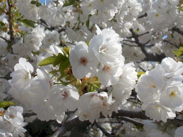cerisier en fleur 4
