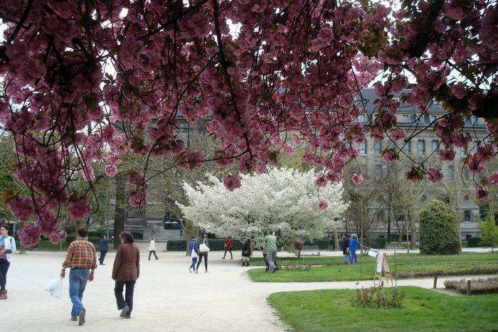 cerisier rose, cerisier blanc