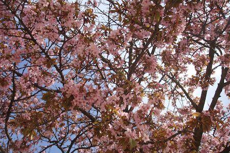cerisier rose,