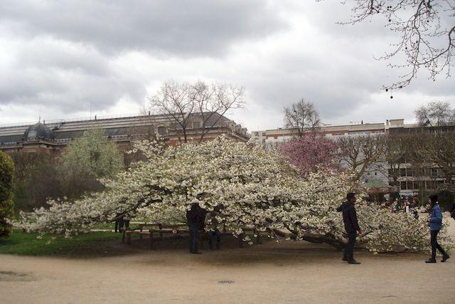 au jardin des Plantes, le grand cerisier est enfin en fleur