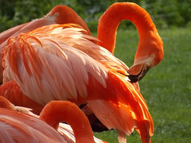 flamants roses 6