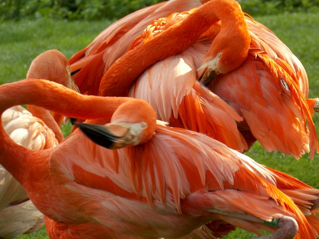flamants roses 7