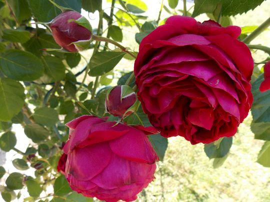 roses 17