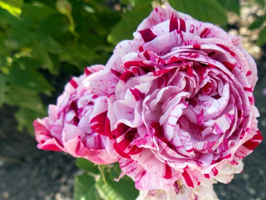 roses 21
