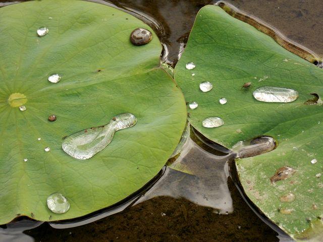 feuille de lotus 3