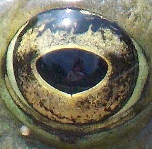 l'œil de la grenouille, photo Alina Reyes