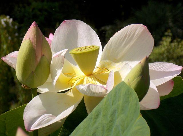 fleur de lotus 4