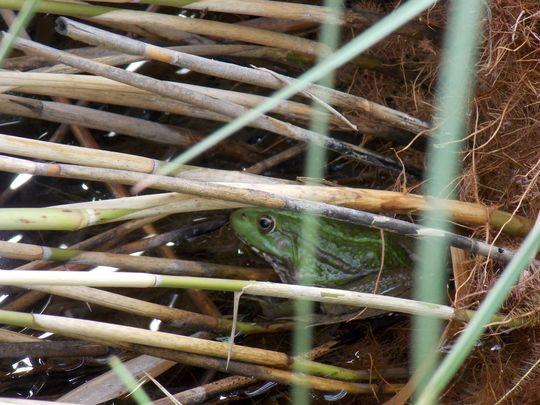 jardin des plantes 1 grenouille