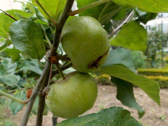 jardin des plantes 17 pommes